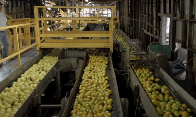 FLORIDA'S ORANGE CROPS HAVE BEEN QUIETLY DYING FOR OVER A DECADE AS GROWERS FIGHT TO SAVE THEM